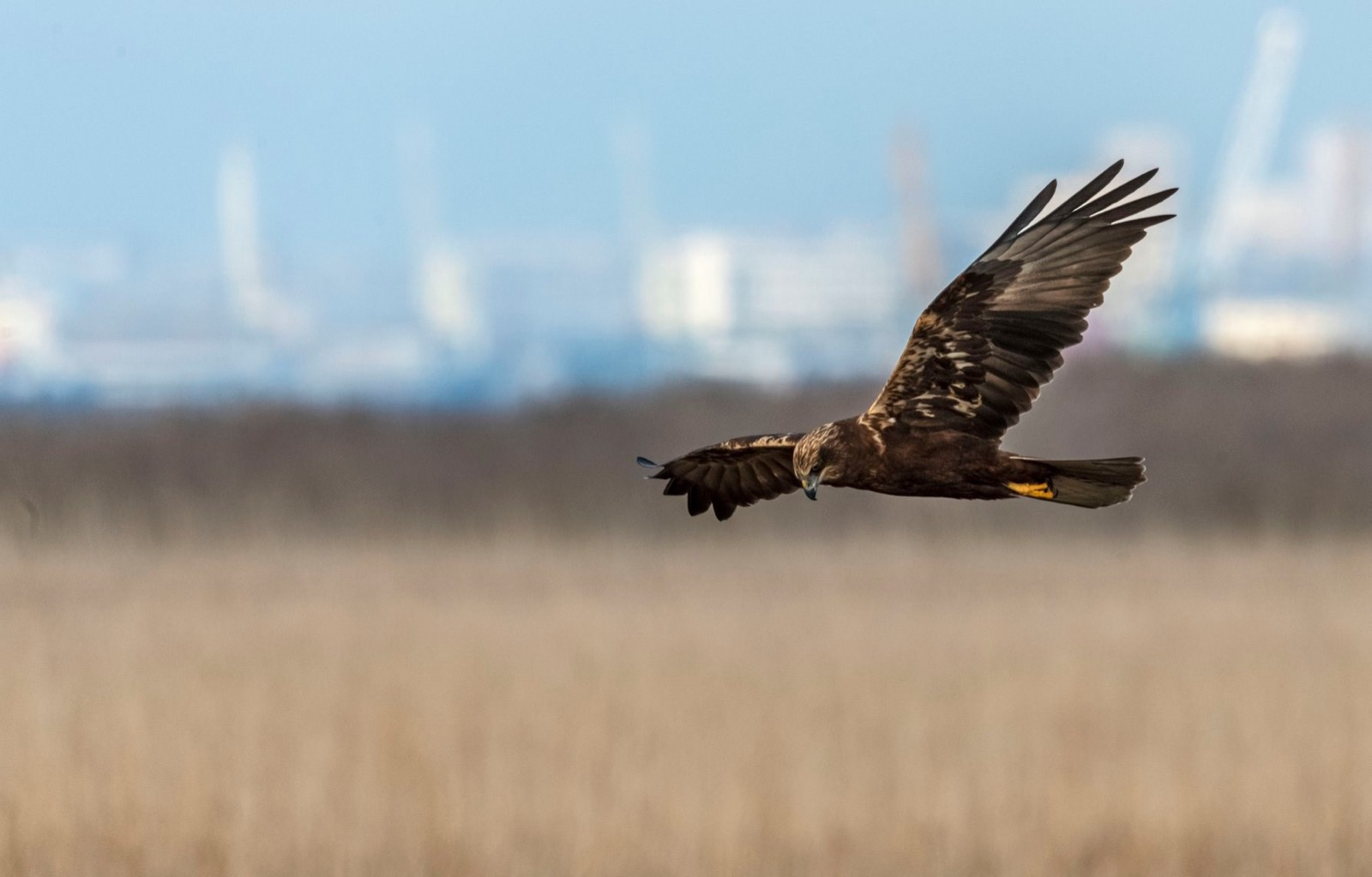 Hunting Harrier Poda lagoon Burgas Bulgaria instant downloads