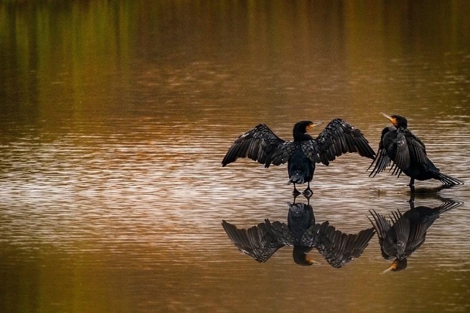 Cormorants Rutland water