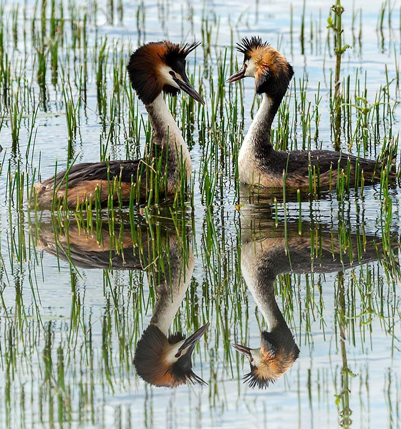 The great crested grebeS reflections