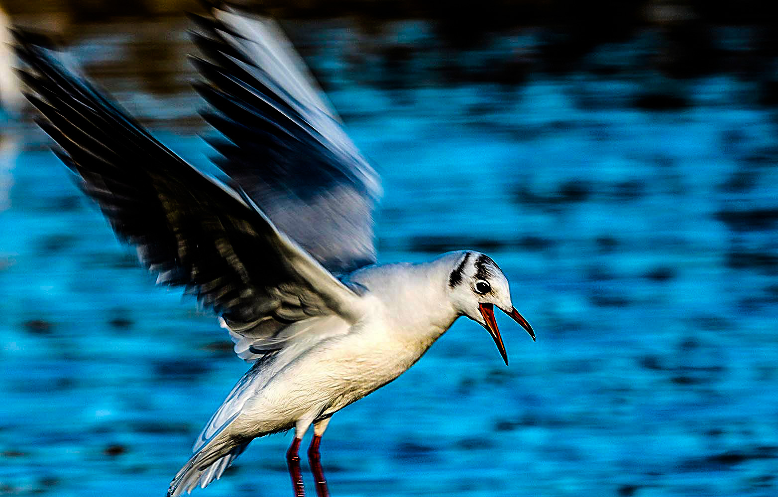 Laughing gull wing movement