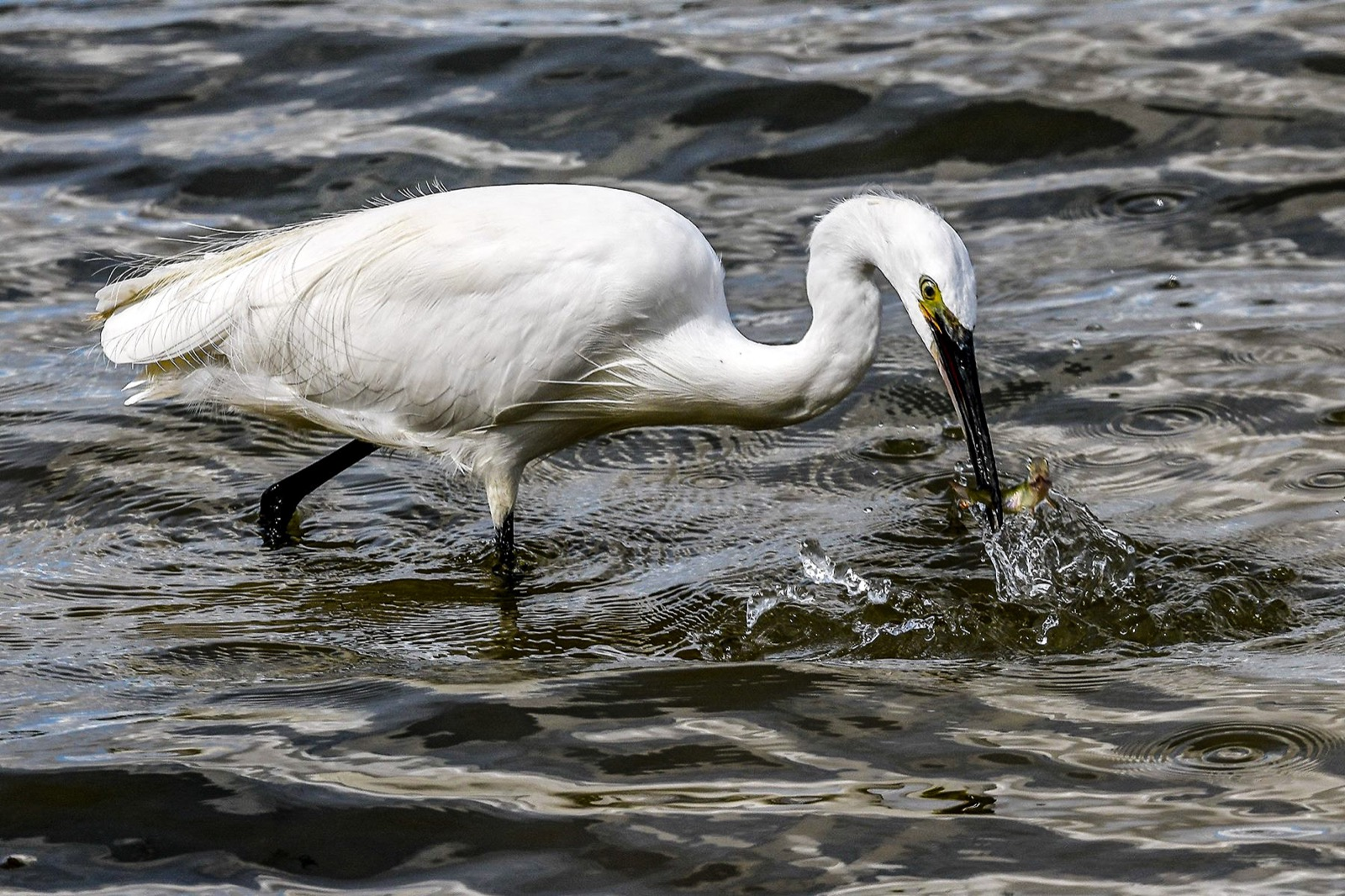 .little Egret catchers a meal of fresh fish.