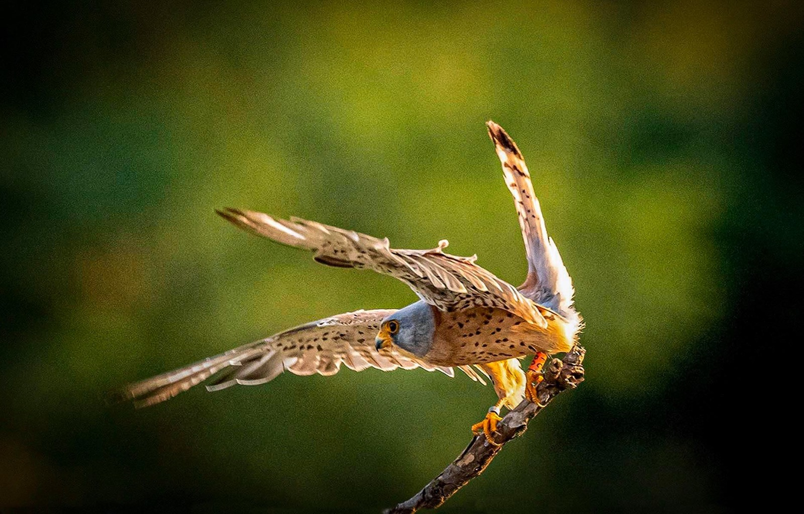 The saker falcon is a large species of falcon.