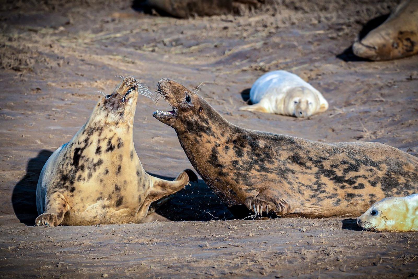 Grey seals at Donna nock Lincolnshire