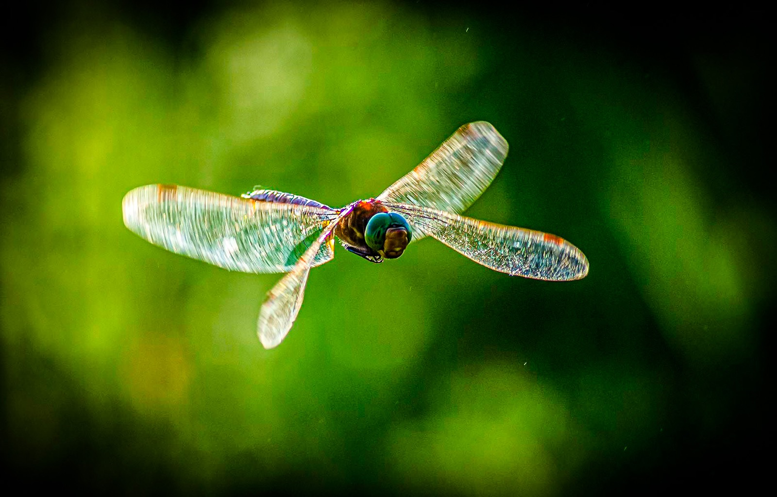 Dragonfly catches the light in flight