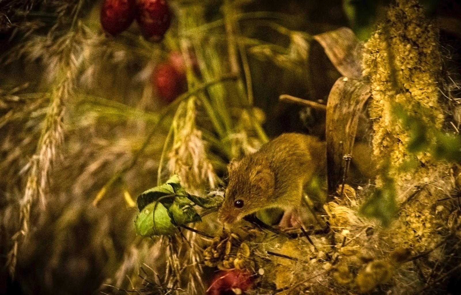 Field mouse autumn golden light