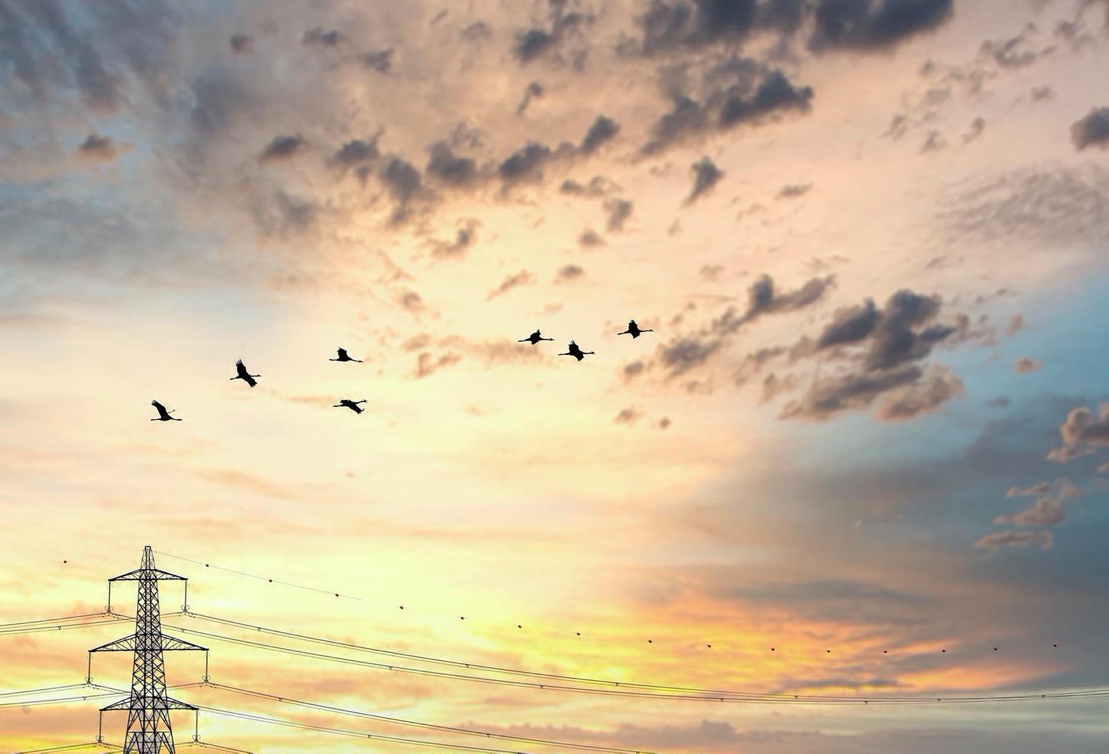 Wild Cranes in flight golden hour Norfolk