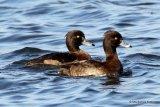 Tufted Duck (Aythya fuligula) F-W