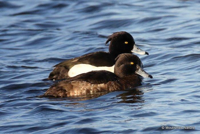 Tufted Duck (Aythya fuligula) M,F (W)