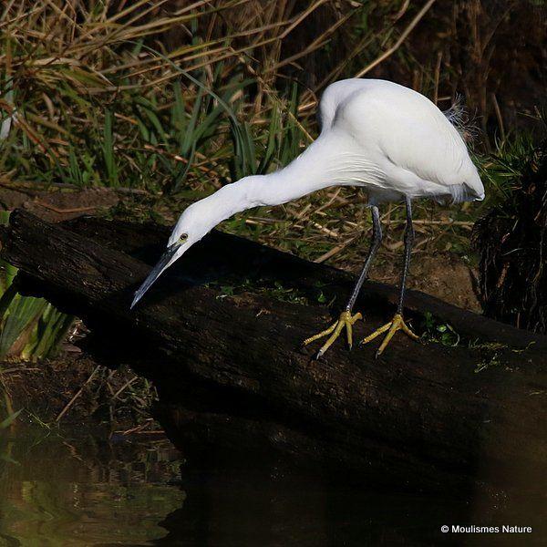 Little Egret (Egretta garzetta) Ad-W