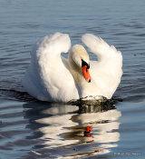 Mute Swan (Cygnus olor) Ad