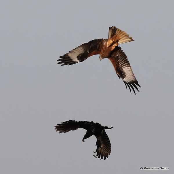 Red Kite (Milvus milvus) Ad