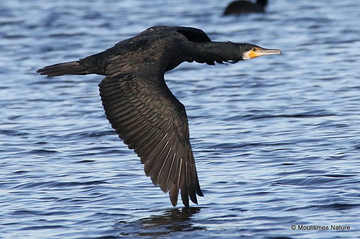Great Cormorant (Phalacrocorax carbo) Ad-W