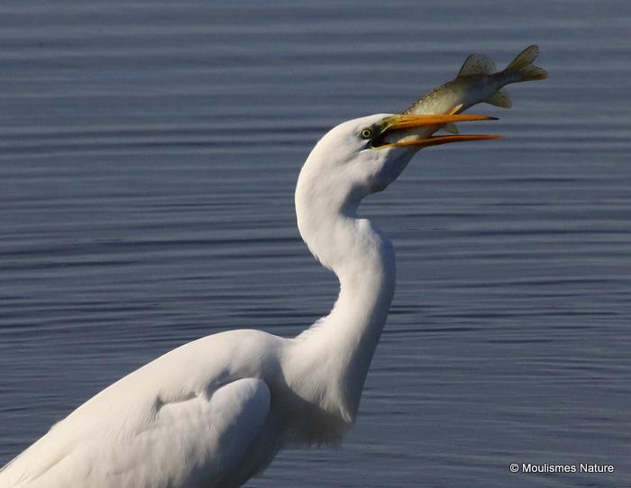 Great Egret (Egretta alba) Ad-W