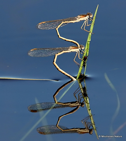 Winter Damselflies (Sympecma fusca)