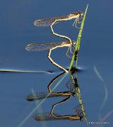 Winter Damselflies (Sympecma fusca)