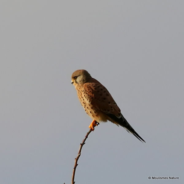 Common Kestrel (Falco tinnunculus) F