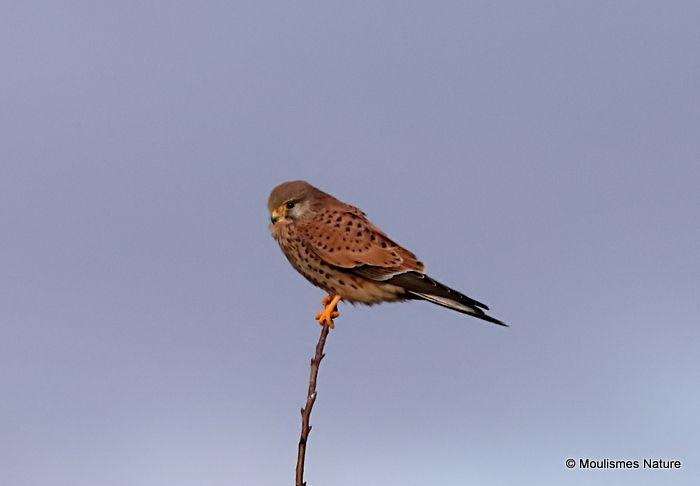 Common Kestrel (Falco tinnunculus) F