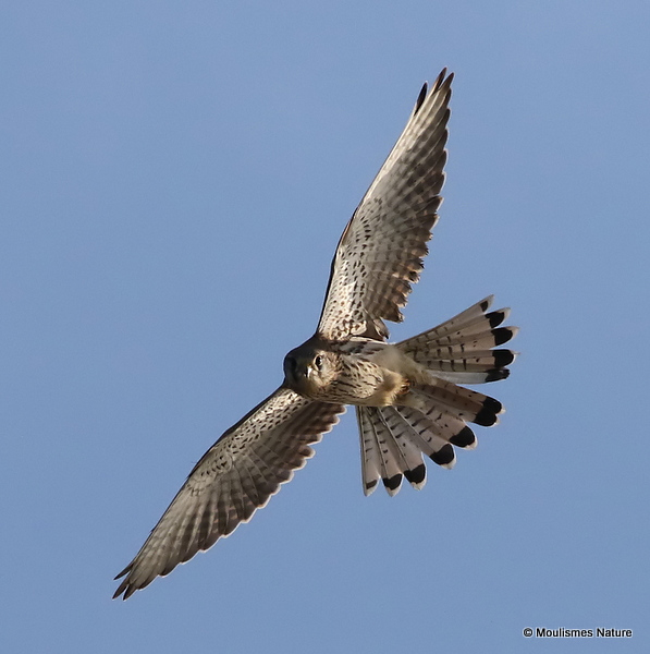 Common Kestrel (Falco tinnunculus) M-Ad