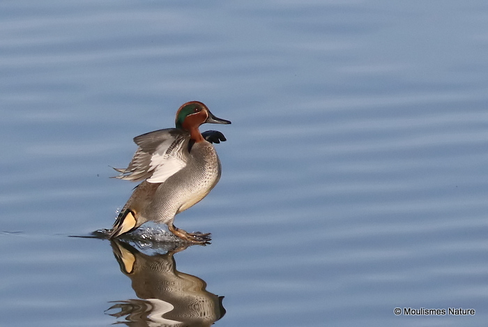 Common Teal (Anas crecca) M-Ad, Sarcelle d'hiver
