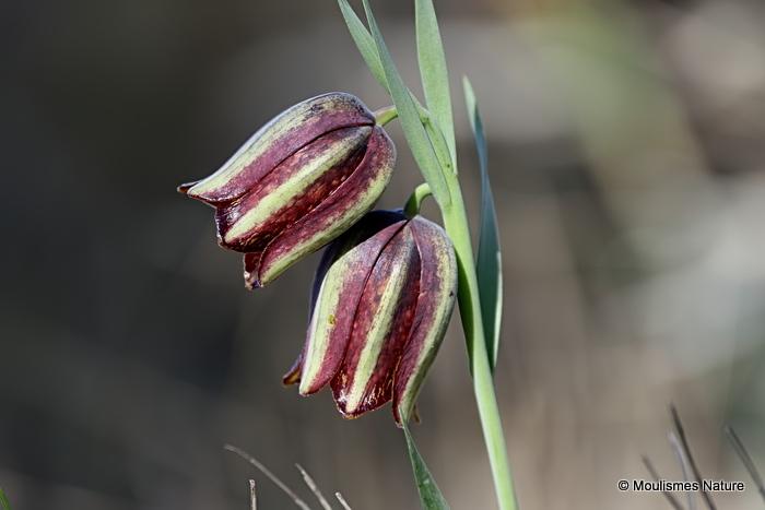 Fritillaria lusitanica | El Perello