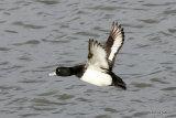 Tufted Duck (Aythya fuligula) M-Ad, Fuligule morillon