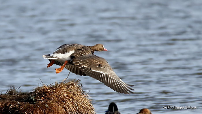 Greater White-fronted Goose (Anser albifrons) Ad, Oie rieuse