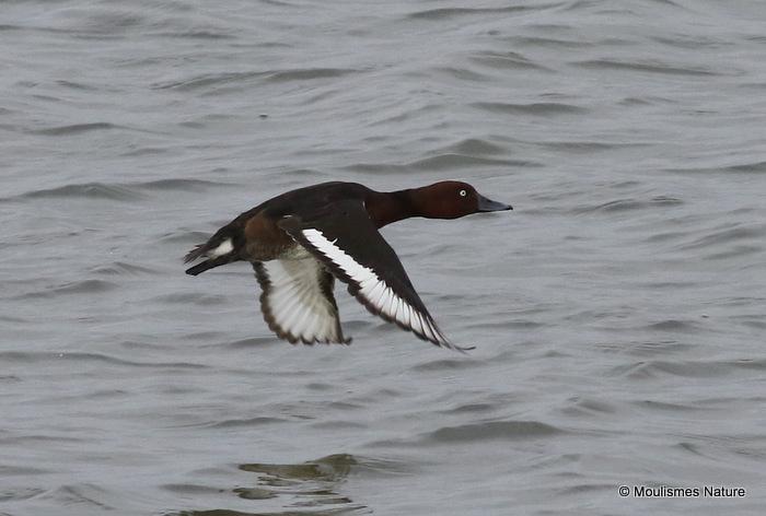 Ferruginous Duck (Aythya nyroca) M, Fuligule nyroca