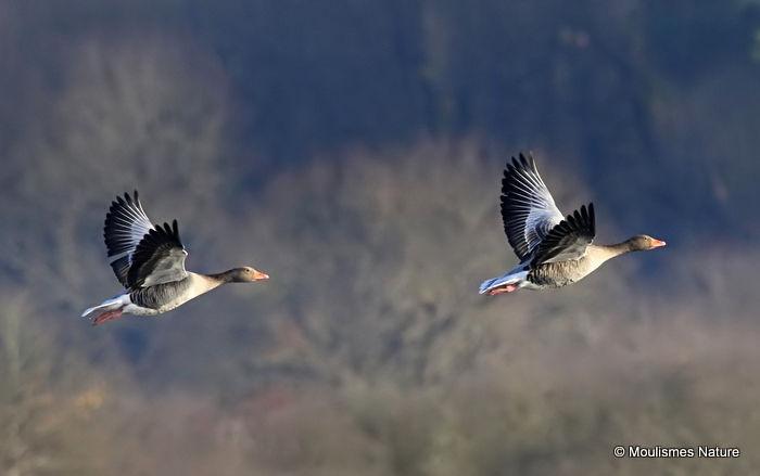 Greylag Goose (Anser anser), Oie cendree