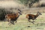 Red Deer (Cervus elaphus) Cerf élaphe