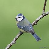 Blue Tit (Parus caeruleus), Mesange bleue