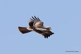 Booted Eagle | Hieraaetus pennatus