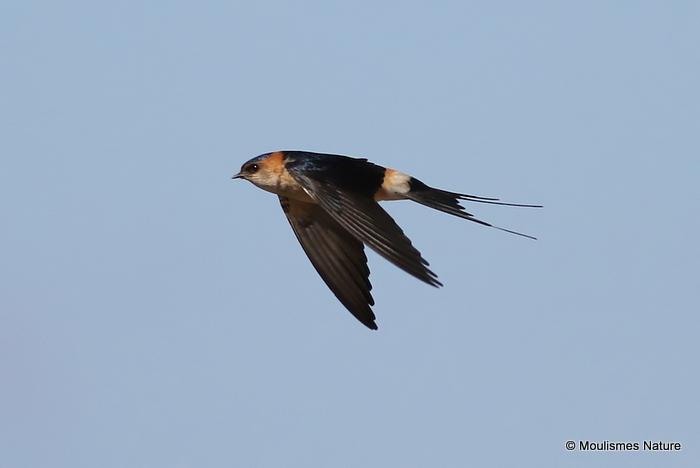 Red-rumped Swallow (Cecropis daurica) Les Olles
