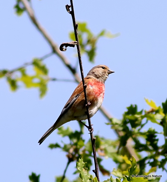 Common Linnet (Carduelis cannabina) M