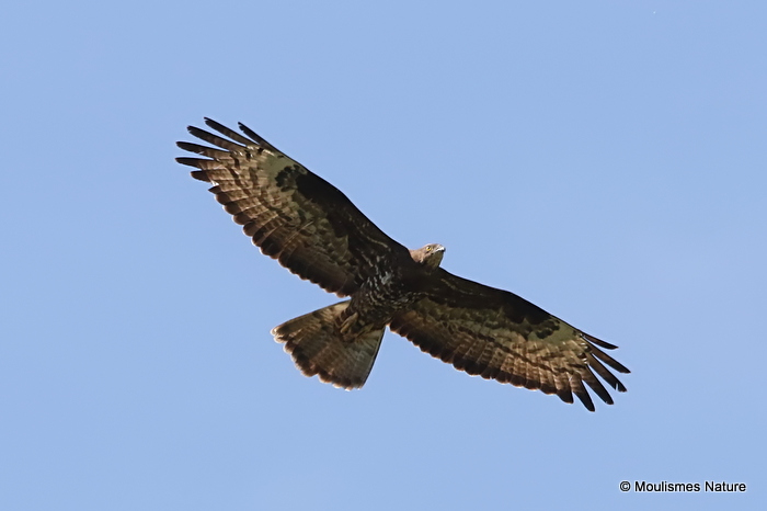 European Honey Buzzard (Pernis apivorus) Ad