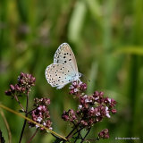 Large Blue (Maculinea arion), L'Azure du serpolet