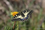 Swallowtail (Papilio machaon) Les Olles