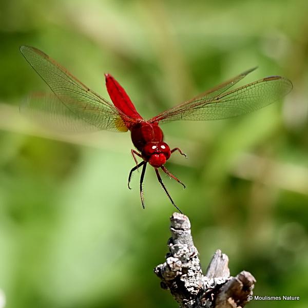 Scarlet Darter (Crocothemis erythraea) M