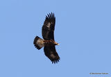 Golden Eagle | Aquila chrysaetos | 1st-year
