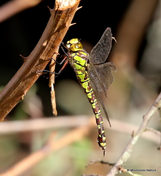 Southern Hawker (Aeshna cyanea) F