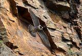 Peregrine (Falco peregrinus), Faucon pelerin F
