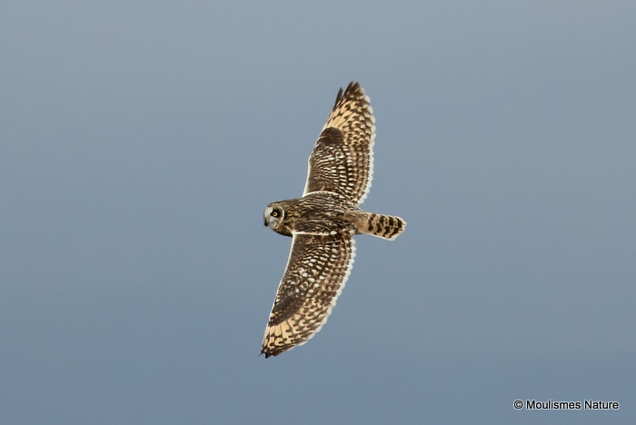 Short-eared Owl (Asio flammeus) Trabucador causeway