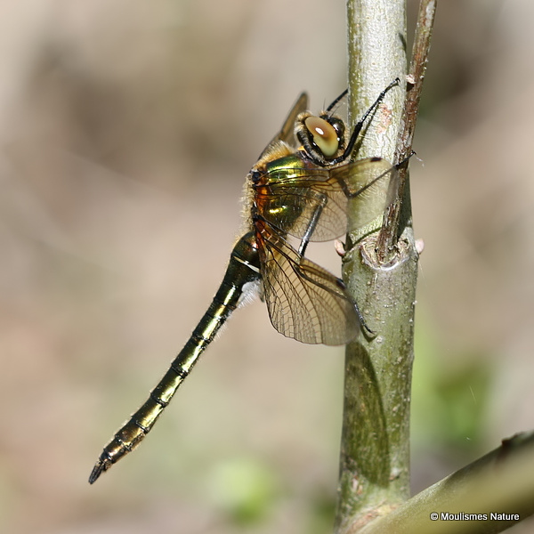 Downy Emerald (Cordulia aenea) F-Imm