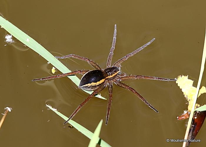 Raft / Great Raft Spider (Dolomedes fimbriatus/D. plantarius)