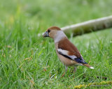 Hawfinch (Coccothraustes coccothraustes) F