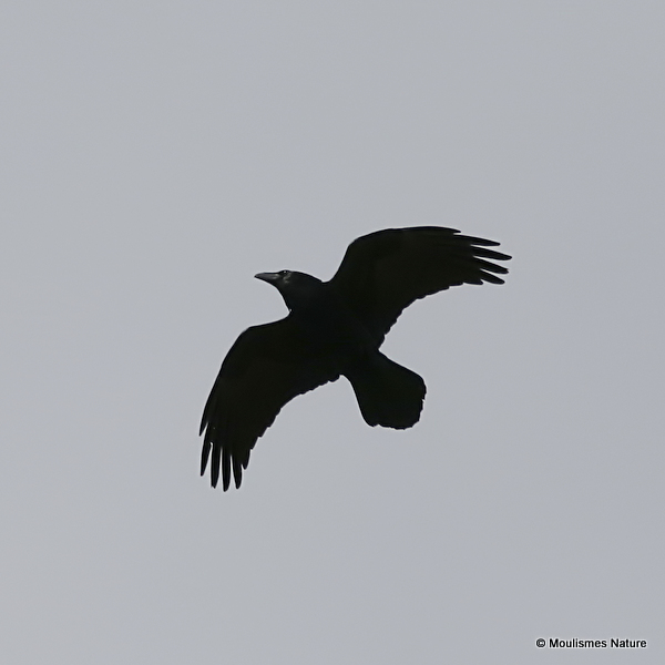 Common Raven (Corvus corax), Grand Corbeau