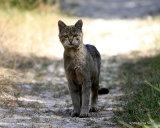 (?)European Wildcat (Felis silvestris silvestris)