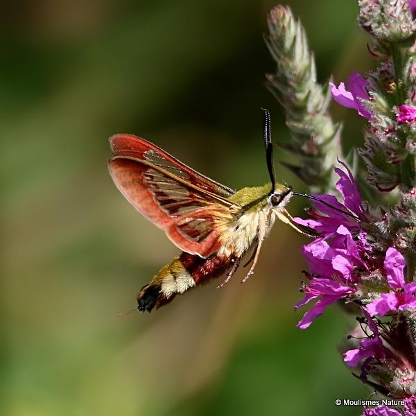 Broad-bordered Bee Hawkmoth (Hemaris fuciformis)