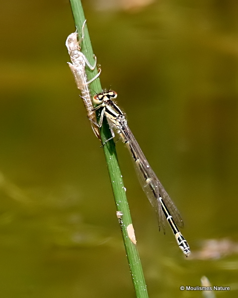 Dainty Damselfly (Coenagrion scitulum) F-ten