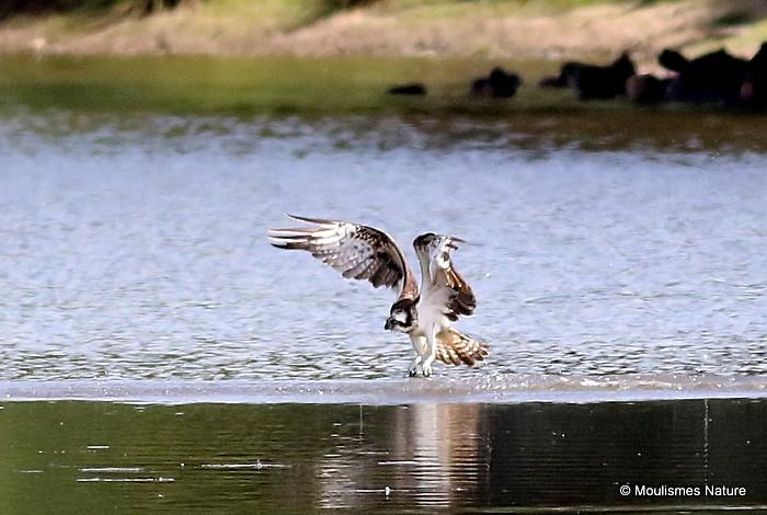 Osprey (Pandion haliaetus) Ad