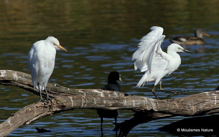 Cattle Egret (Bubulcus ibis) Ad, Juv